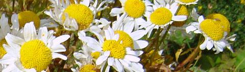 цветя от лайка близо до пампорово